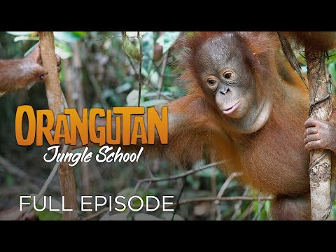 Orangutan Jungle School: And So It Begins... (Full Episode)