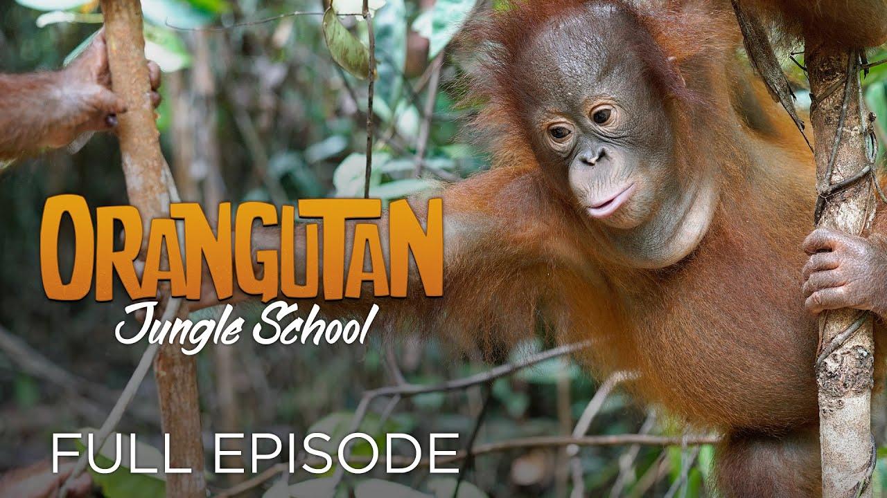 Download Orangutan Jungle School: And So It Begins... (Full Episode)