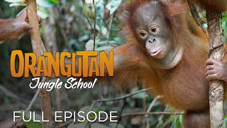 Orangutan Jungle School: And So It Begins... (Full Episode)