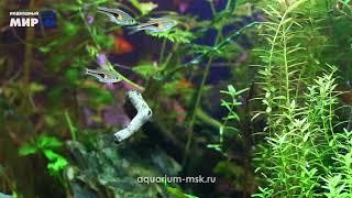 Голландский аквариум с элементами акваскейпа