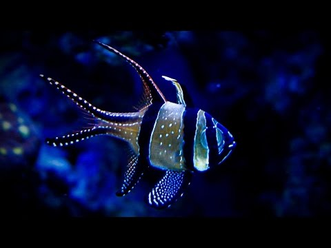 How To Setup A 20 Gallon Nano Reef Tank, Bangaii Cardinal Fish, Red Starfish