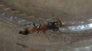 (蟻蜘蛛)ヤガタアリグモがショウジョウバエを食べる風景