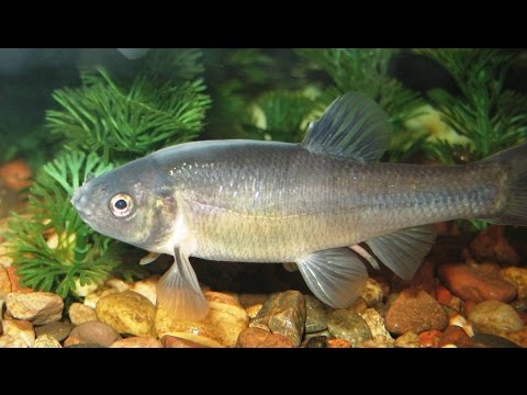 Species Profile # 35: The Fathead Minnow (Pimephales Promelas)