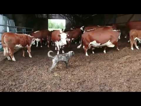 Sisu pitää karjan loitolla (Cao de Fila de Sao Miguel / Azores cattle dog))