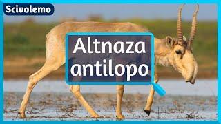 La rostra nazo de la altnaza antilopo