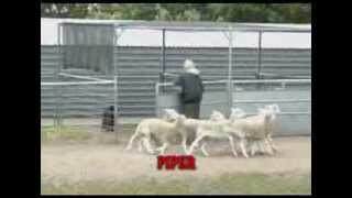Online Training On How To Teach A Dog To Unpen Livestock For All Herding Breeds - Unpenning Sheep