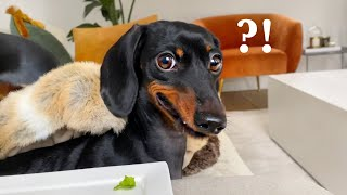 My Dachshund's face when she gets a plate of lettuce.