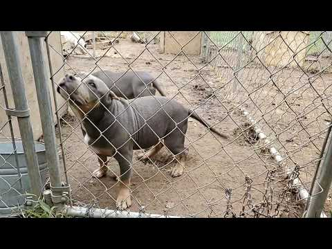 KEEPERS UPDATE Blue Tri Pups American Bully Females Abkc Pocket Micro Red Nose Blue Nose