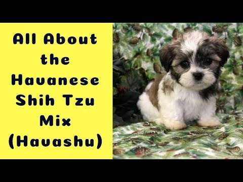 All About the Havanese Shih Tzu Mix (Havashu): Facts/ Information