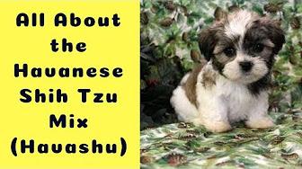 Dog Havanese Shih Tzu Mix Havashu You