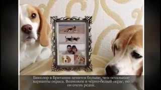 Маленькие породы собак БИГЛЬ