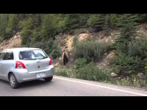 Grizzly Bear on Moraine Lake Rd