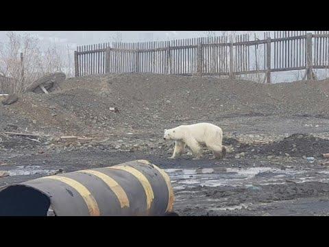 afpbr: Urso polar é encontrado na Rússia | AFP