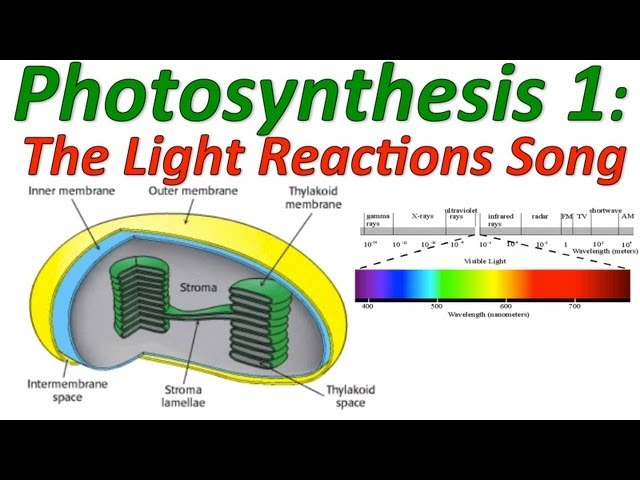 Photosynthesis: The Light Reactions Song