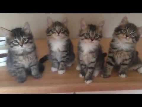 Siberian Kittens playing in NH cattery
