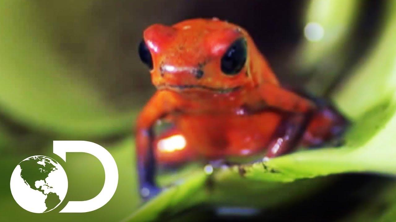 Rana de dardo venenosa | VIDA | Discovery Latinoamérica - YouTube