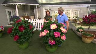 Cottage Farms Iconic Jumbo Hardy Hibiscus Duo on QVC