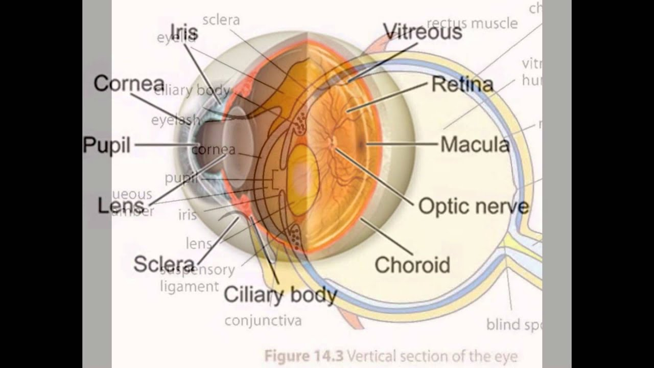 Eye Anatomy And Function - YouTube