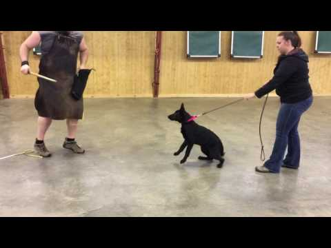 """Powerful Young German Shepherd Puppy """"Haven"""" 18 Wk Super Dog In Training Development For Sale"""