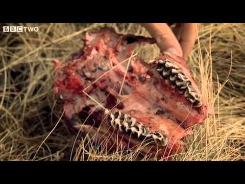 Wolf Kill Site Investigation at Yellowstone - Horizon: Predators In Your Backyard - BBC Two