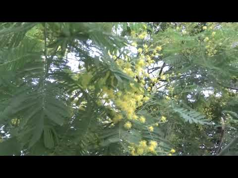 Мимоза зацвела в январе. Это редкость. Лазаревское цветы в январе