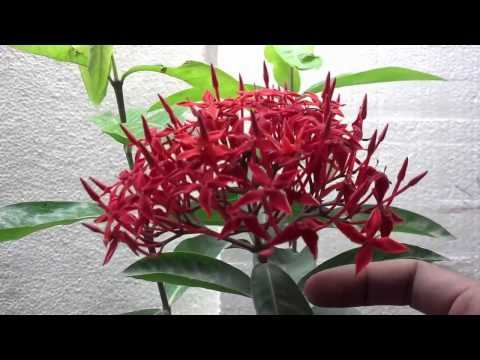 How to  Ixora Coccinea Plant | Ixora Flower | Tropical Red Plants (Urdu/hindi)