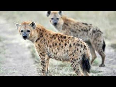 HYENA'S HEAVEN   Hyenas defeated male lion! Animal Video