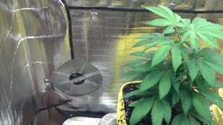 Huge Cardboard Grow Box ! + Clone Report ! Video #2