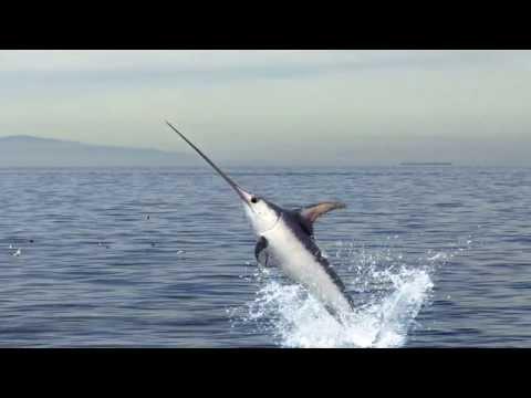 Skin & Bones - Animal Life: Swordfish