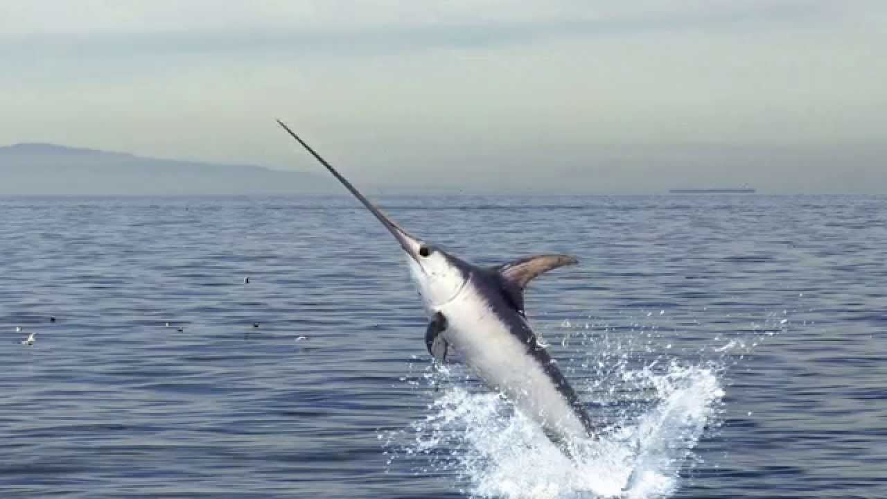 Image result for swordfish