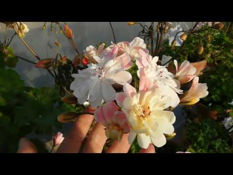 Zonartic 'Lara Marjorie' in flower