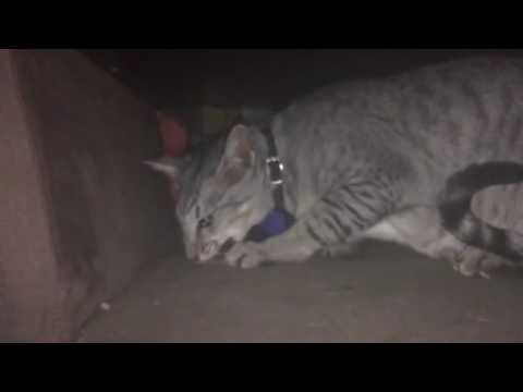 Oriental cat eats mouse