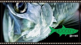 "Baby Tarpon on fly ""The Trail: A-Z"""