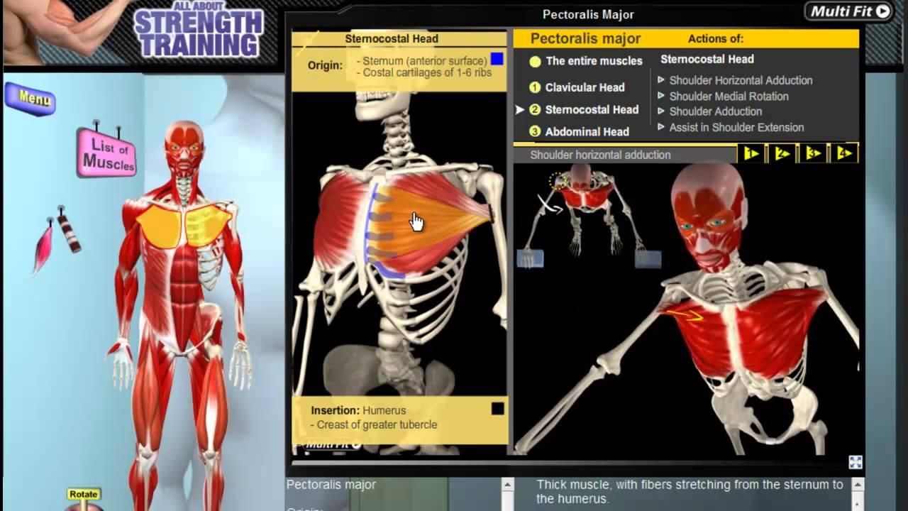 Pectoralis Major: Muscle Motion, Anatomy & Kinesiology - YouTube