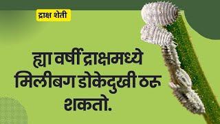 shetkari majha |  आता ही  सात औषधे फवारल्यास द्राक्ष सम्पल फेल जाऊ शकतात.
