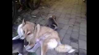 Западно-сибирская лайка с детишками