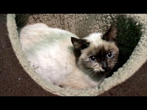 NEW Shy Siamese Kitten & Frost Gets Groomed For Adoption Visit