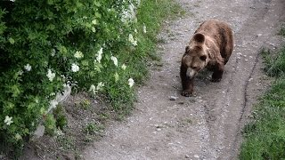 Встреча с медведем в лесу