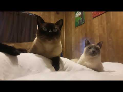 Siamese cat (Raziel) and Tonkinese cat/ Ragdoll cat (Stormee) morning routine