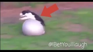 DOG FRONT FLIPS OVER EXERCISE BALL *Hilarious*