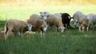 L'élevage des moutons à la BN