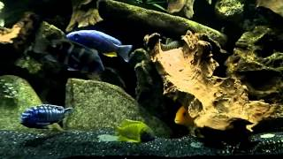 Re Scaped 75 Gallon Mixed African Cichlid Tank Tonight!! Check It Out!!