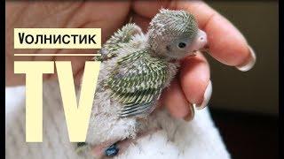 Очень милый птенец волнистого попугая. Нам 12 дней! Пух на жопе и ГЛАВНОЕ - ХВОСТ!