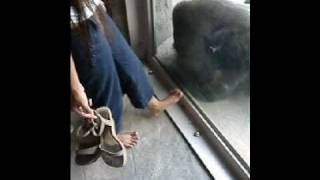 Gorilla with a foot fetish!
