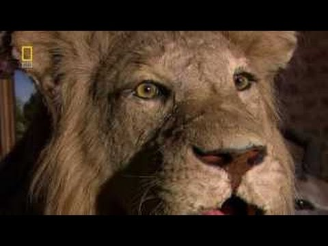 LADY LIONESS'S JOURNEY Wildlife Nature Documentary HD hunting,mating,lion,attack,vs