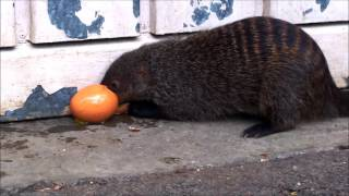 Banded Mongoose and a Chicken Egg 28th March 2016
