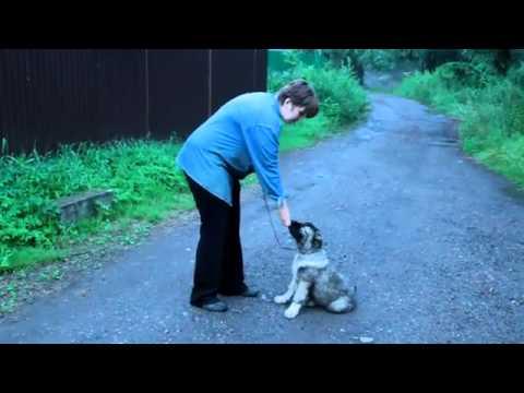 Дрессировка щенка кавказской овчарки