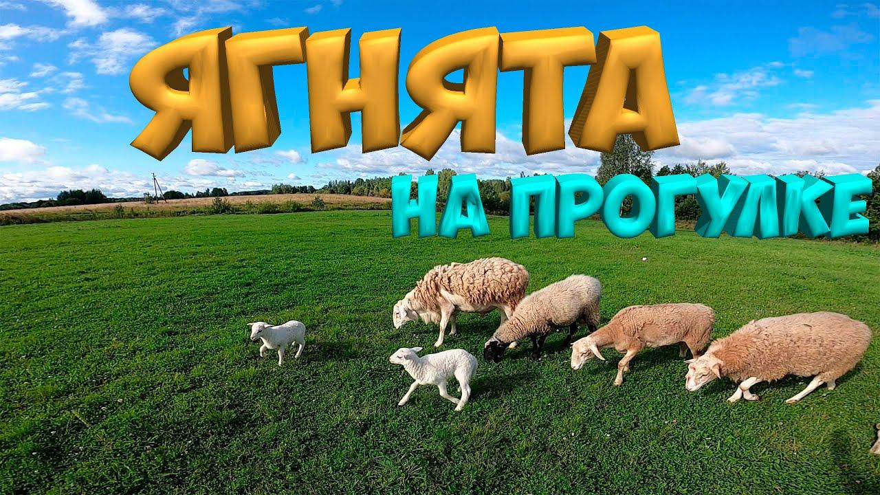 Первое знакомство ягнят со стадом  . В хозяйстве все спокойно ![ LIFE]