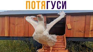 ПОТЯГУСИ))) Приколы | Мемозг #473