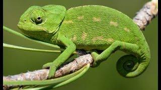 Европейский хамелеон - Common Chameleon (Энциклопедия животных)